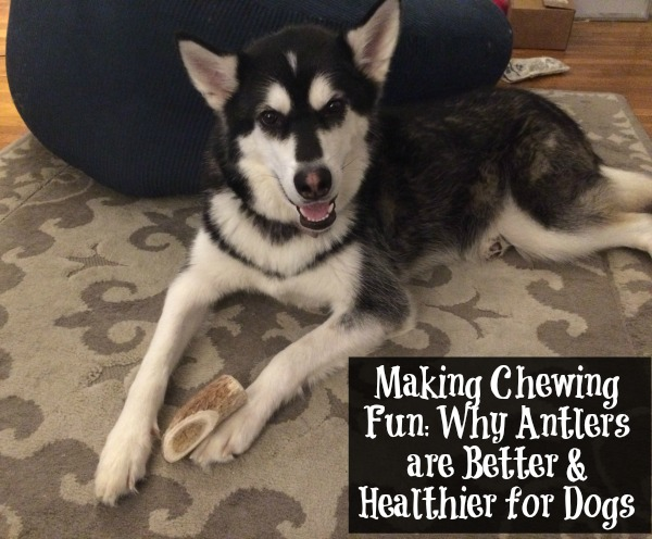 Making Chewing Fun Why Antlers are Better & Healthier for Dogs