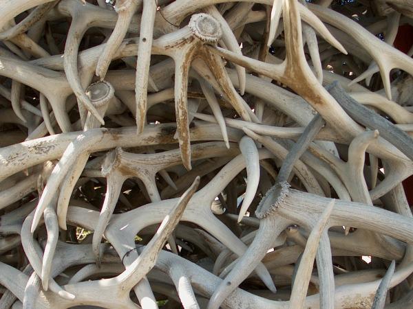 batch of elk antlers