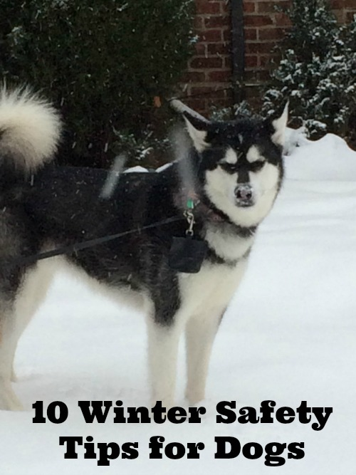10 Winter Safety Tips for Dogs