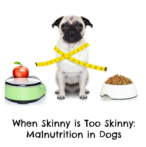 When Skinny is Too Skinny Malnutrition in Dogs