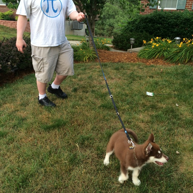 After three days on the ThunderLeash, Ivi doesn't pull using the leash as a traditional leash or as a no pull leash!