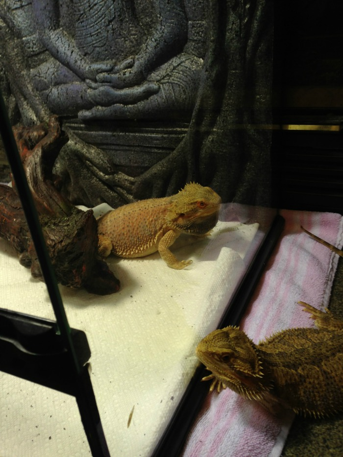 Planning on bringing home a bearded dragon as a new family pet? Learn what you need to buy to properly care for your bearded dragon here! #ReptileCare