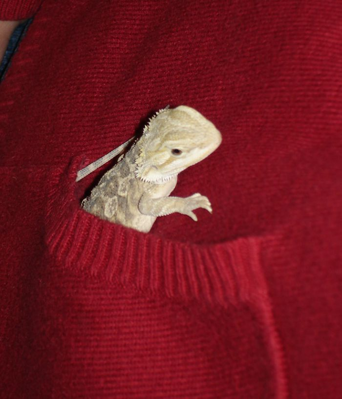 Considering adding a bearded dragon or other reptile to your family? See our own experience with reptile care & reptile ownership here! #ReptileCare