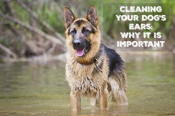 Do you clean your dogs ears? Learn why you should be cleaning your dogs ears & how to do it easily clean your dogs ears at home here!