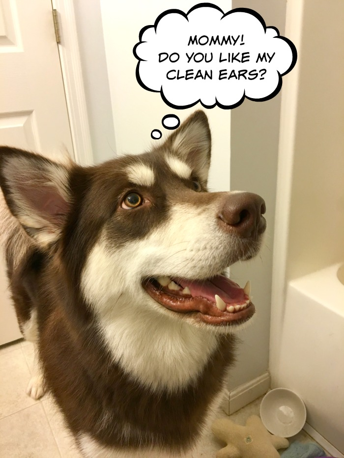 Want to help your dog have super clean, great smelling ears? See why we are fans of Pura Naturals Pet Pura-Tip Ear Cleansing System here!