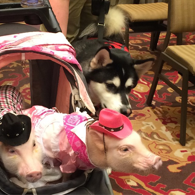Networking is super important not just for writers, but pets as well! Reya meeting her first piggies - Priscilla and Poppleton!