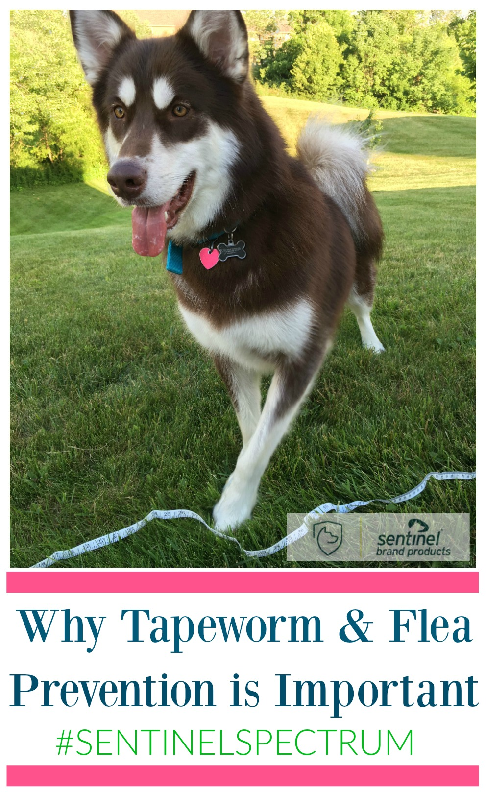 Do you protect your pets from parasites throughout the year in your home? See why you should worry about tapeworms & fleas year round here!