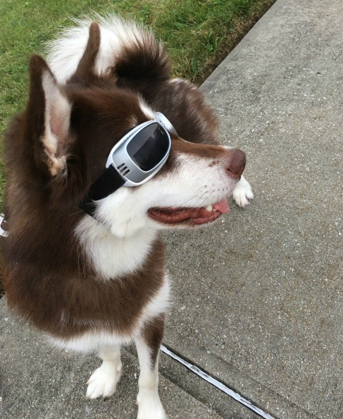 Looking for a quality pair of dog goggles to protect your dogs eyes from the environment & the sun? See what we think of PETLESO Large Dog Goggles here!