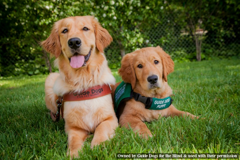 Guide Dog Adult and Puppy