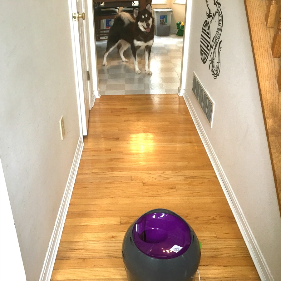 Looking for a fun way to keep dogs active indoors during extreme heat or cold? See why we are fans of the PetSafe Automatic Ball Launcher here!