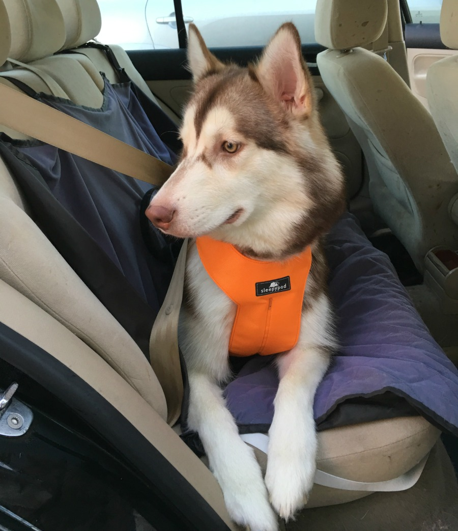 Want to make traveling in the car even safer for dogs? See what we think of the Sleepypod Clickit Sport Harness here!