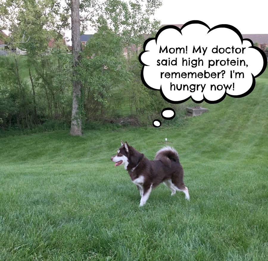 Looking for a quality high protein food for your dog? See why we are excited about the new Natural Balance High Protein Limited Ingredient Diet Formula here!