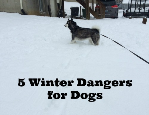 Want to keep your dog as safe as possible during the winter? Check out these 5 winter dangers for dogs!