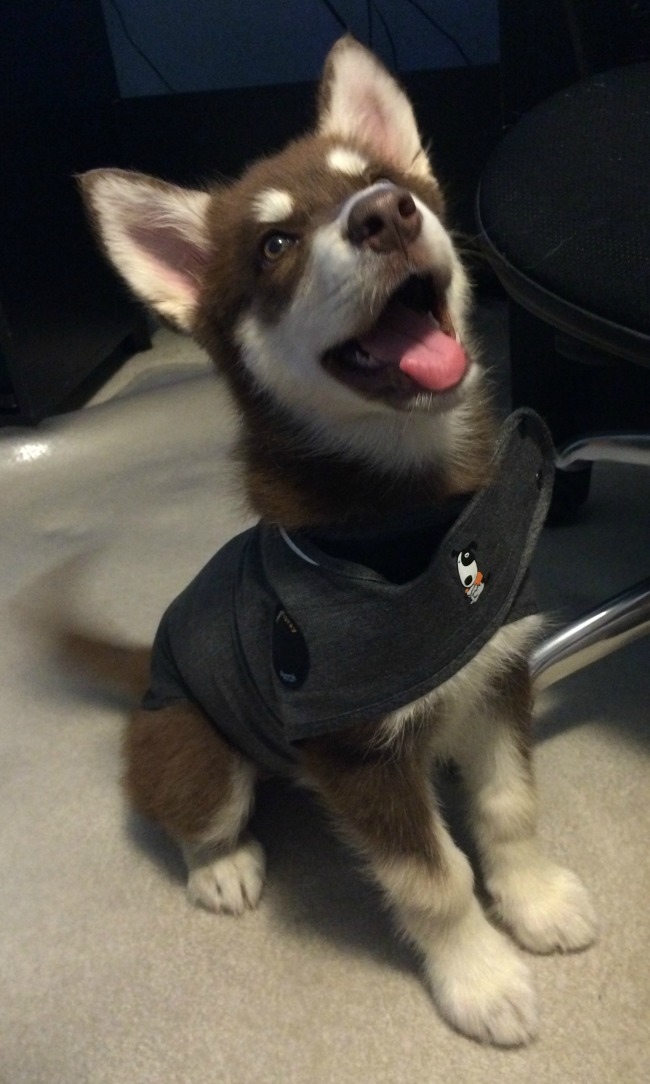 Helping Dogs Relax with the ThunderShirt