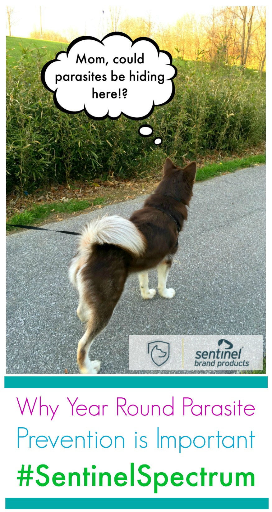 Do you use a year round parasite prevention with your dogs? see how Sentinel Spectrum protected Ivi from Rylie's puppy roundworms here! #SentinelSpectrum