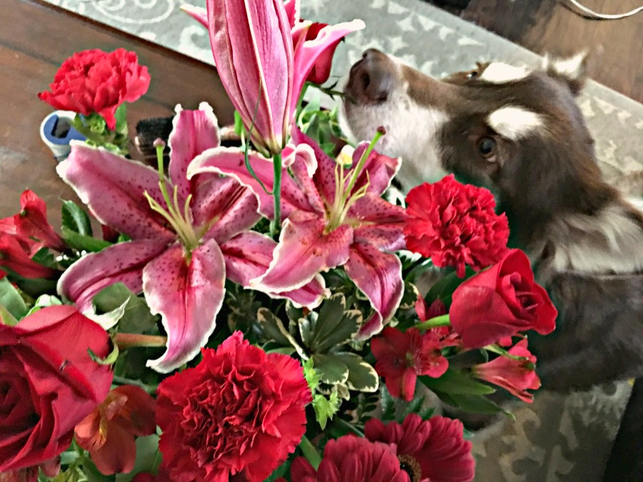 Ivi the red & white Alaskan Malamute smelling red roses, pink lilies, & other red Valentine's Day flower arrangement flowers